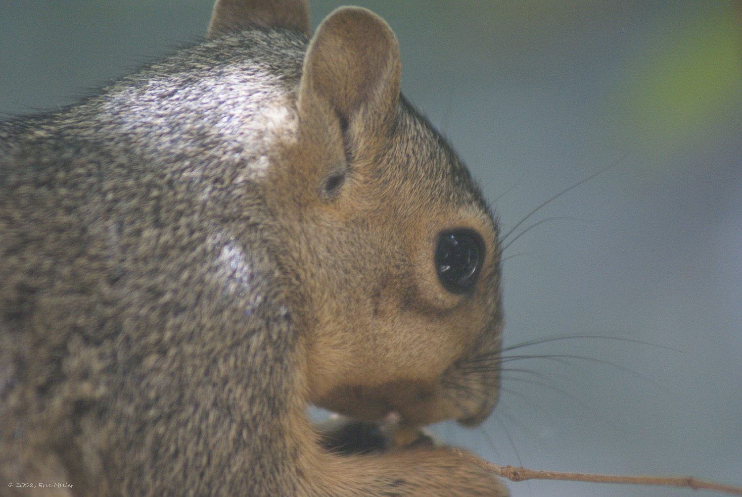 2008/squirrels/DSC00193.jpg