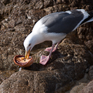 A seagull enjoying some fresh abalone.