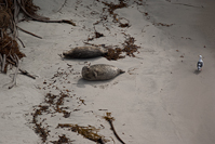 It was pupping season for the harbor seals and this fat momma was keeping a watchful eye on her beach.