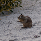 A squirrel eating a potato chip on Carmel Beach.