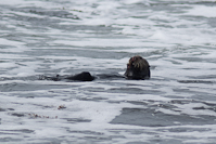 A sea otter at Point Lobos State Reserve.