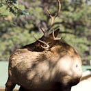 an elk with an itch
