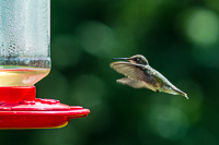 blurry hummingbird