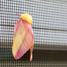 A ruby maple moth on the screen
