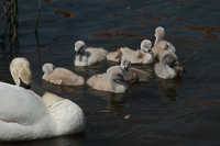 a family of swans on the Regnitz