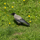 a jackdaw in Poland