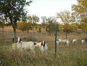 Texas Hill Country goats