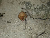 hermit crab at night