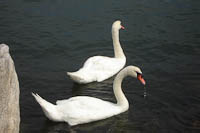 swans in the harbor