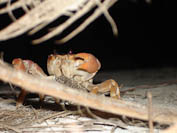 crab in the night